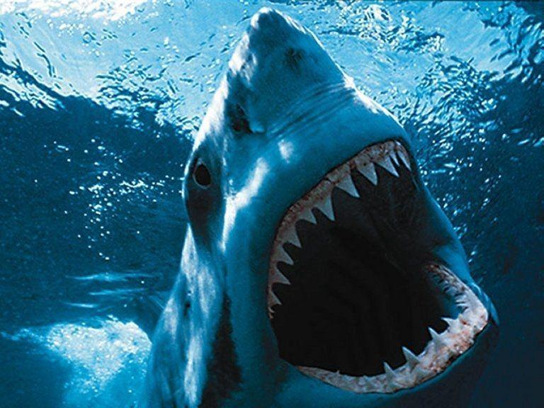 Espece de requins - Le grand requin blanc - Requin Blanc